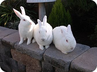 New Zealand for adoption in Santee, California - Bouqui,Asia & Ivory Rose