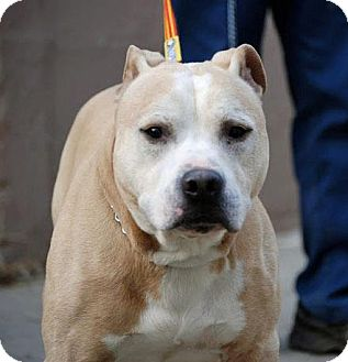 American Staffordshire Terrier Mix Dog for adption in Tinton Falls, New Jersey - Quinton