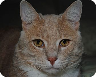 American Shorthair Cat for adoption in Waxhaw, North Carolina - Scooby