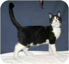 Domestic Shorthair Cat for adoption in Powell, Ohio - Franco