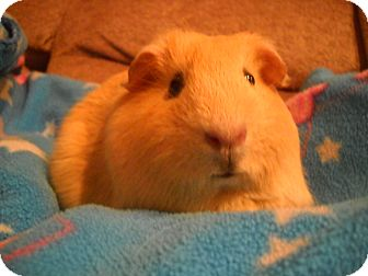 Guinea Pig for Sale in johnson creek, Wisconsin - autumn