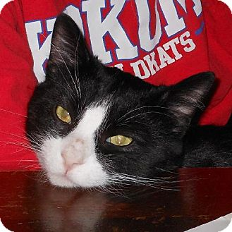 Domestic Shorthair Cat for adoption in Waterloo, Iowa - BC 'Broken Cat'