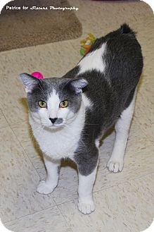 Manx Cat for adoption in Lincoln, Nebraska - Diamond
