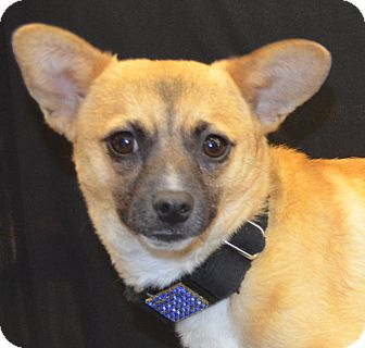 Chihuahua/Shiba Inu Mix Dog for Sale in Bridgeton, Missouri - Phoenix