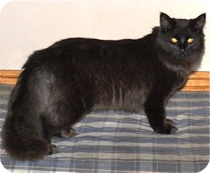 Domestic Longhair Cat for Sale in Colorado Springs, Colorado - K-Hodnick4-Miriam