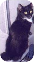 Domestic Mediumhair Cat for adoption in New York, New York - Velvet