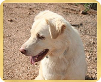 Golden Retriever/Australian Shepherd Mix Dog for Sale in Scottsdale, Arizona - Lacey