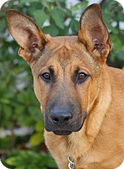 German Shepherd Dog/Labrador Retriever Mix Puppy for Sale in Los Angeles, California - Wyatt von Werdau