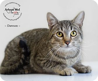 Domestic Shorthair Cat for Sale in Phoenix, Arizona - Dawson