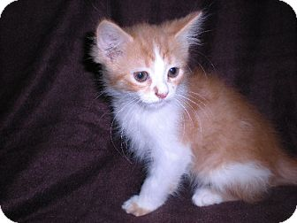 Domestic Longhair Kitten for Sale in New Castle, Pennsylvania -