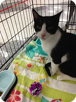 Domestic Shorthair Cat for adoption in La Canada Flintridge, California - Yevgueny
