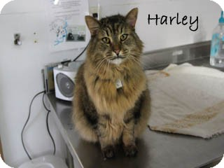 Maine Coon Cat for Sale in Hamilton, Montana - Harley