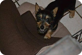 Yorkie, Yorkshire Terrier/Chihuahua Mix Puppy for Sale in San Diego, California - Bonnie