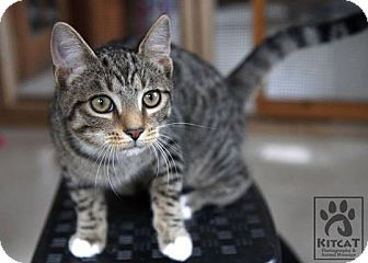 Domestic Shorthair Kitten for Sale in Lancaster, Massachusetts - Hansel