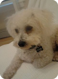 Bichon Frise/Poodle (Miniature) Mix Dog for Sale in Fresno, California - Boo - PENDING