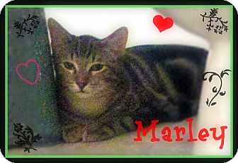Domestic Shorthair Kitten for adoption in Orange, California - Marley
