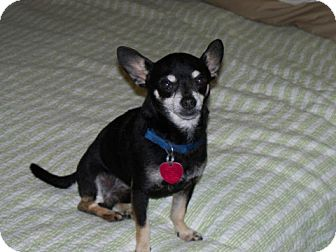 Chihuahua Mix Dog for Sale in Clear Lake, Washington - Lucky