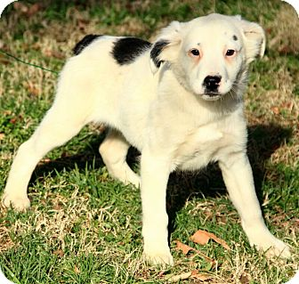 English Setter/Australian Shepherd Mix Puppy for Sale in Allentown, Pennsylvania - Lilly