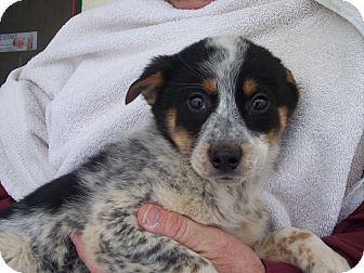 Australian Cattle Dog Mix Puppy for Sale in Germantown, Maryland - Liah