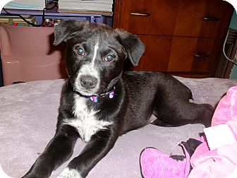 Australian Cattle Dog/Labrador Retriever Mix Puppy for Sale in Groton, Massachusetts - Princess Tea Pot