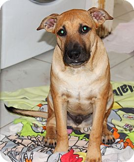 Labrador Retriever/Black Mouth Cur Mix Puppy for adption in Porter, Texas - Josh