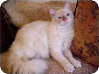 Himalayan Cat for adoption in Culver City, California - Marley