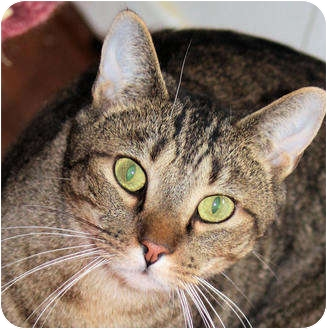 Domestic Shorthair Cat for adoption in Morganton, North Carolina - Weaver