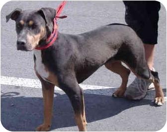 Doberman Pinscher/Australian Cattle Dog Mix Dog for Sale in Reno
