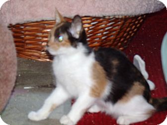 Calico Kitten for Sale in Scottsdale, Arizona - Astaroth & Niburu