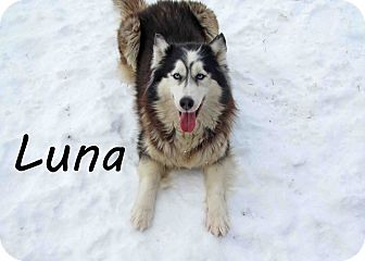 Husky Mix Dog for Sale in Hamilton, Montana - Luna