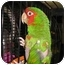Photo 1 - Conure for adoption in Creston, Illinois - Rossi