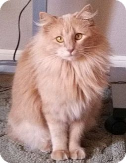 Domestic Longhair Cat for Sale in Bentonville, Arkansas - Regina