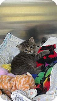 Domestic Shorthair Kitten for Sale in Richboro, Pennsylvania - Sheryl Crow