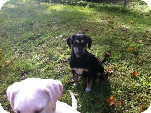 Shepherd (Unknown Type)/Labrador Retriever Mix Puppy for Sale in Marlton, New Jersey - Molly