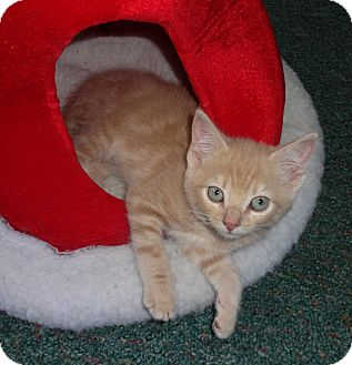 Domestic Shorthair Kitten for Sale in N. Billerica, Massachusetts - Manny
