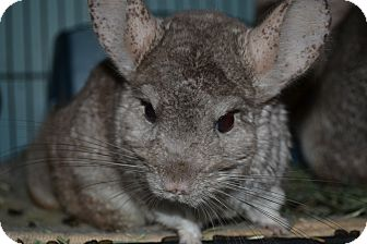 Chinchilla for adoption in Selden, New York - Calliope
