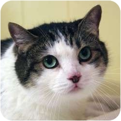 Domestic Shorthair Cat for adoption in St. Clements, Ontario - Adam