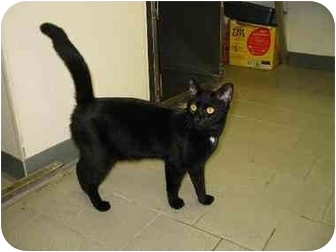 Bombay Cat for adoption in New York, New York - Sash/Dylan