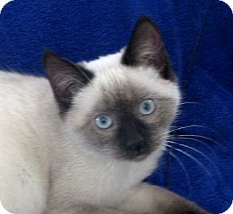 Siamese Kitten for Sale in Vacaville, California - Paisley
