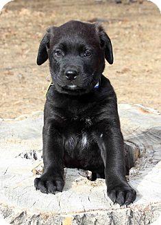 Labrador Retriever/Newfoundland Mix Puppy for Sale in Westminster, Colorado - Oscar