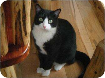 Domestic Shorthair Cat for adoption in Jamestown, Ohio - ARI