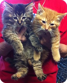 Domestic Shorthair Kitten for Sale in Bartlett, Illinois - Kittens