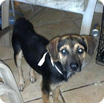 Beagle Mix Dog for Sale in San Diego, California - Max URGENT