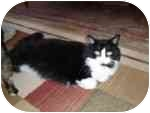 Domestic Longhair Cat for adoption in North Boston, New York - Kisses