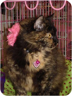Domestic Longhair Cat for adoption in Petersburg, Virginia - Poppy