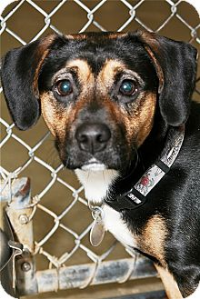 Boxer Mix Dog for Sale in Kalamazoo, Michigan - Crusader