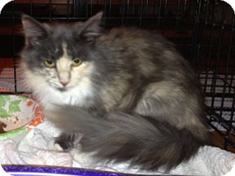Domestic Longhair Cat for Sale in Troy, Ohio - Callie
