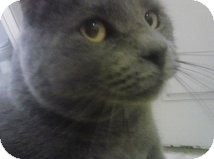 Russian Blue Cat for Sale in Mesa, Arizona - Kratos