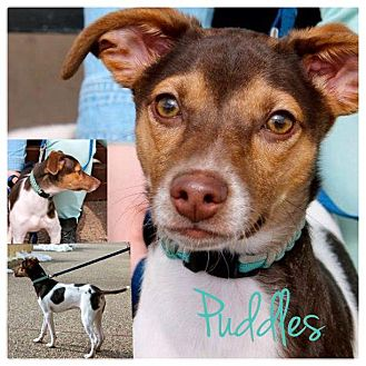 Rat Terrier Mix Puppy for Sale in Westland, Michigan - Puddles
