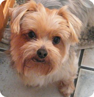 Yorkie, Yorkshire Terrier Mix Dog for Sale in Sparta, New Jersey - Leno-Purebred